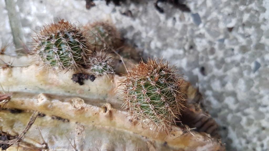 Echinopsis [identification à compléter] 20190139