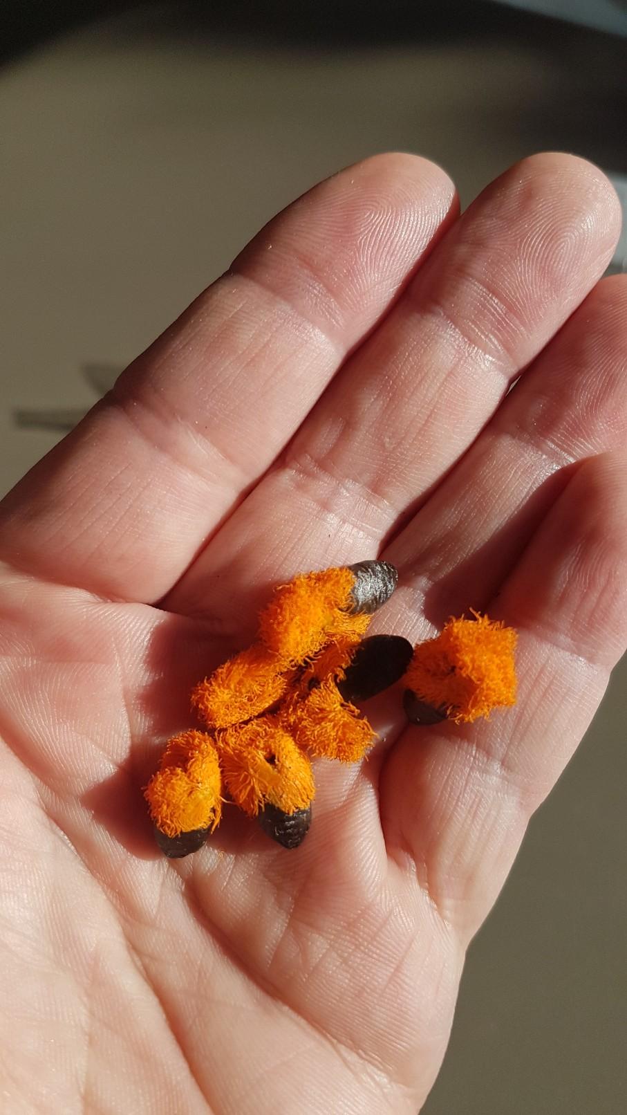 semis de Strelitziaceae et Zingiberaceae 20190141