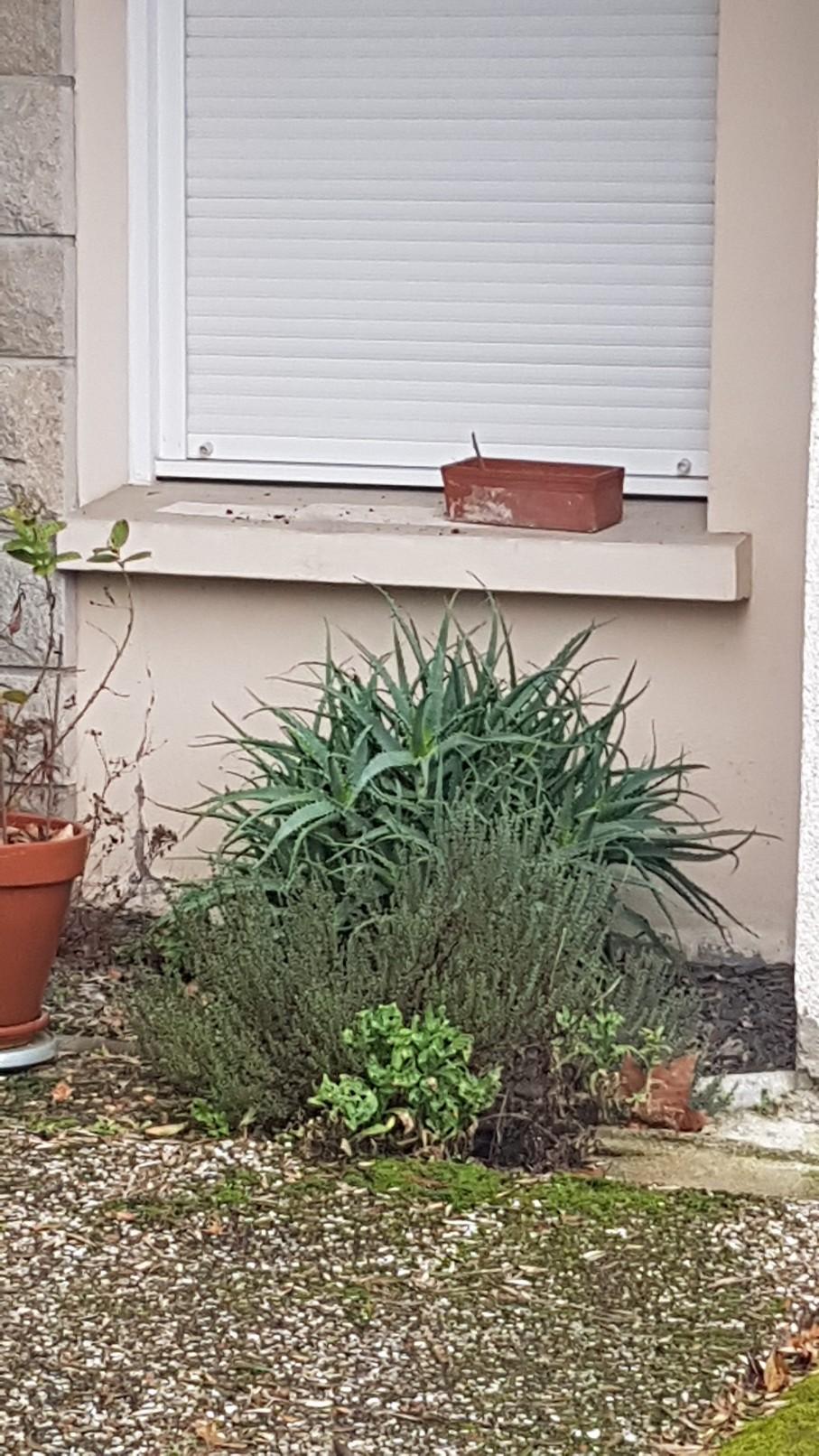 Aloe arborescens 20190167