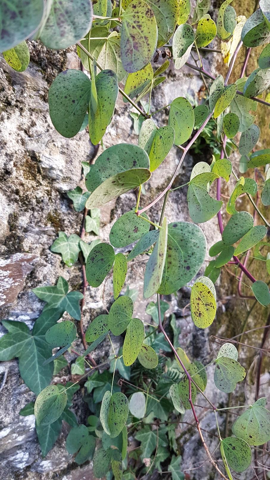 Bauhinia yunnanensis - Page 5 20190180