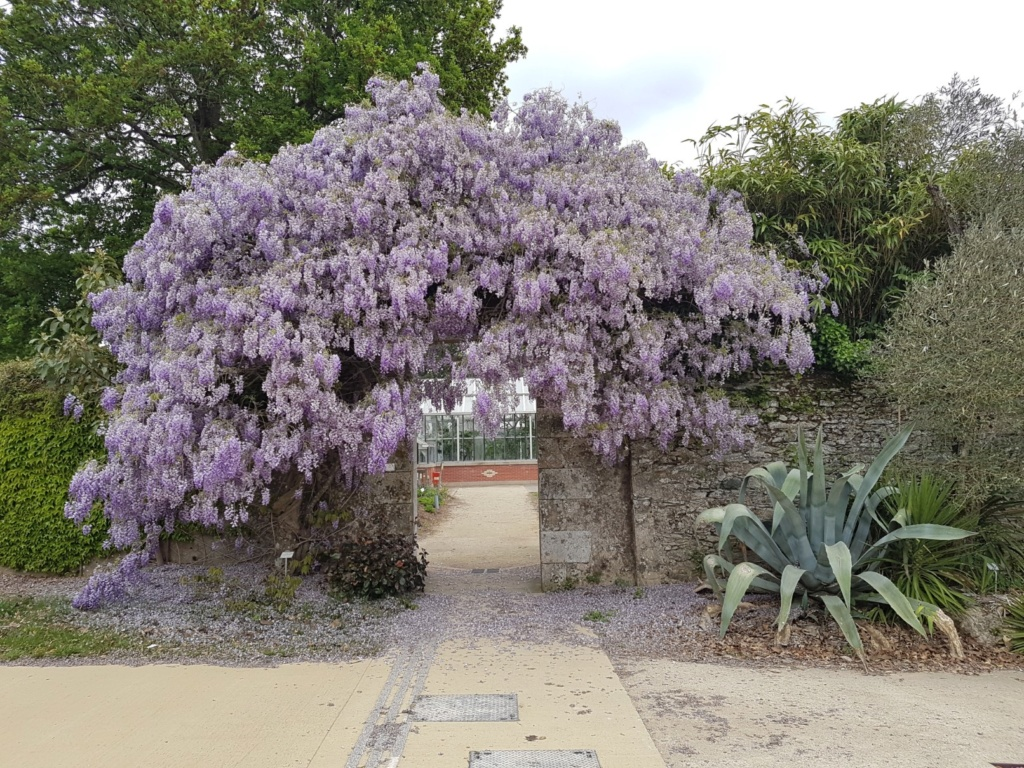 Wisteria - les glycines  - Page 7 20190203