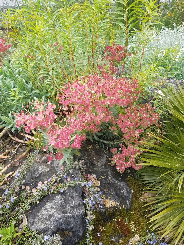 Euphorbia rigida - euphorbe rigide - Page 3 20190208