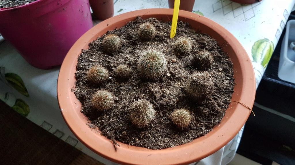 Echinopsis [identification à compléter] 20190217