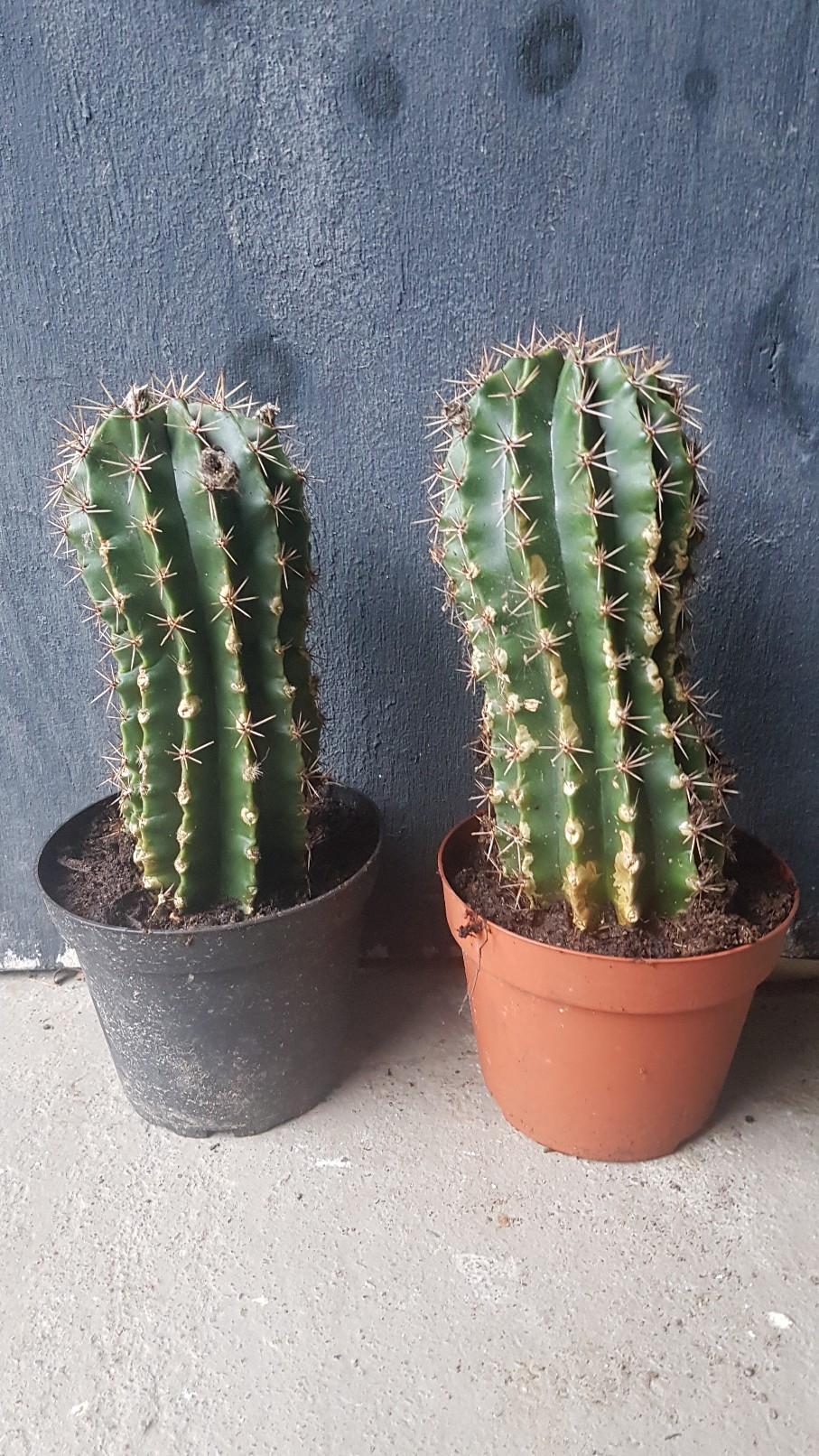 Echinopsis [identification à compléter] 20190220