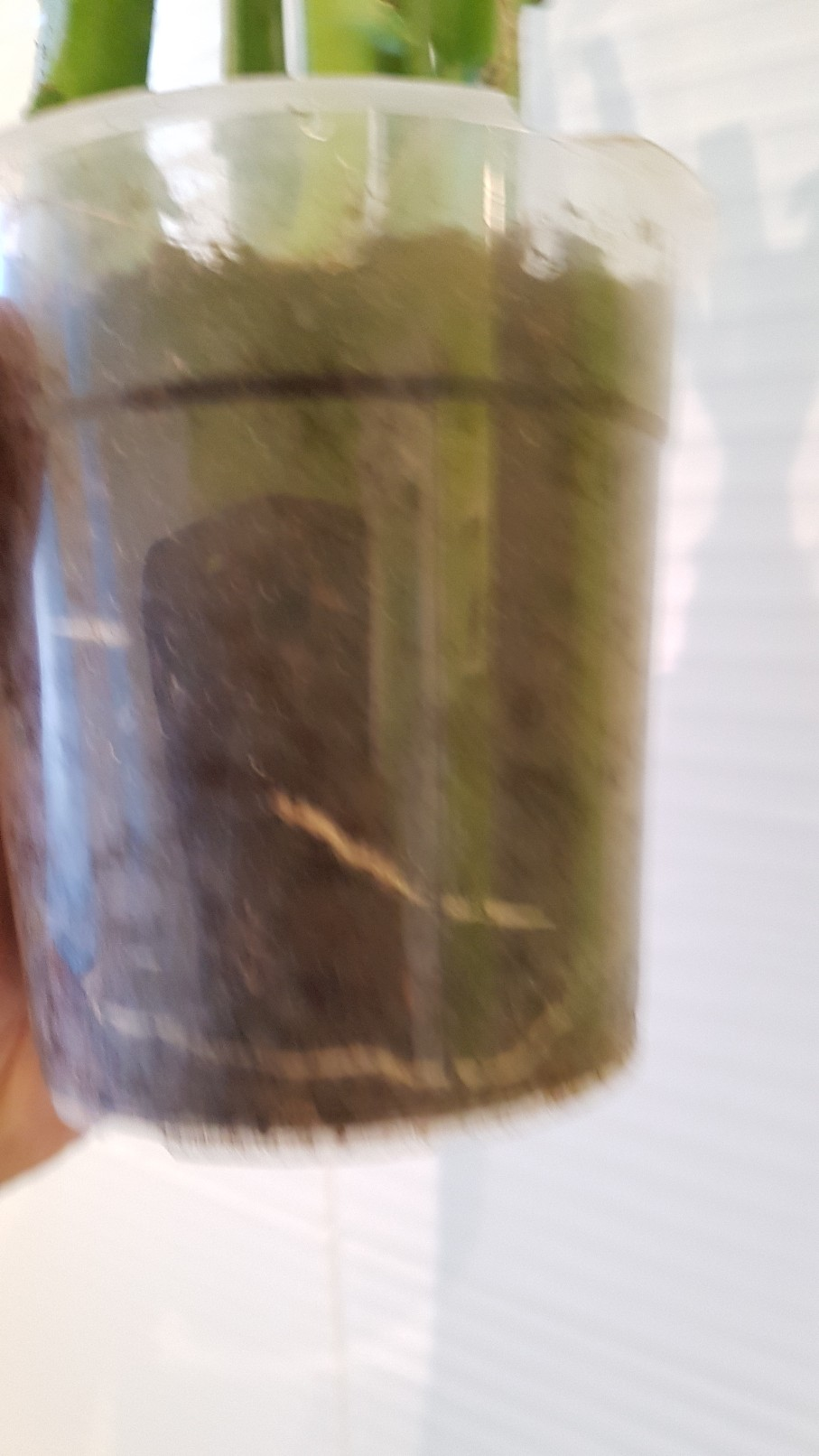 Selenicereus hamatus 20190228