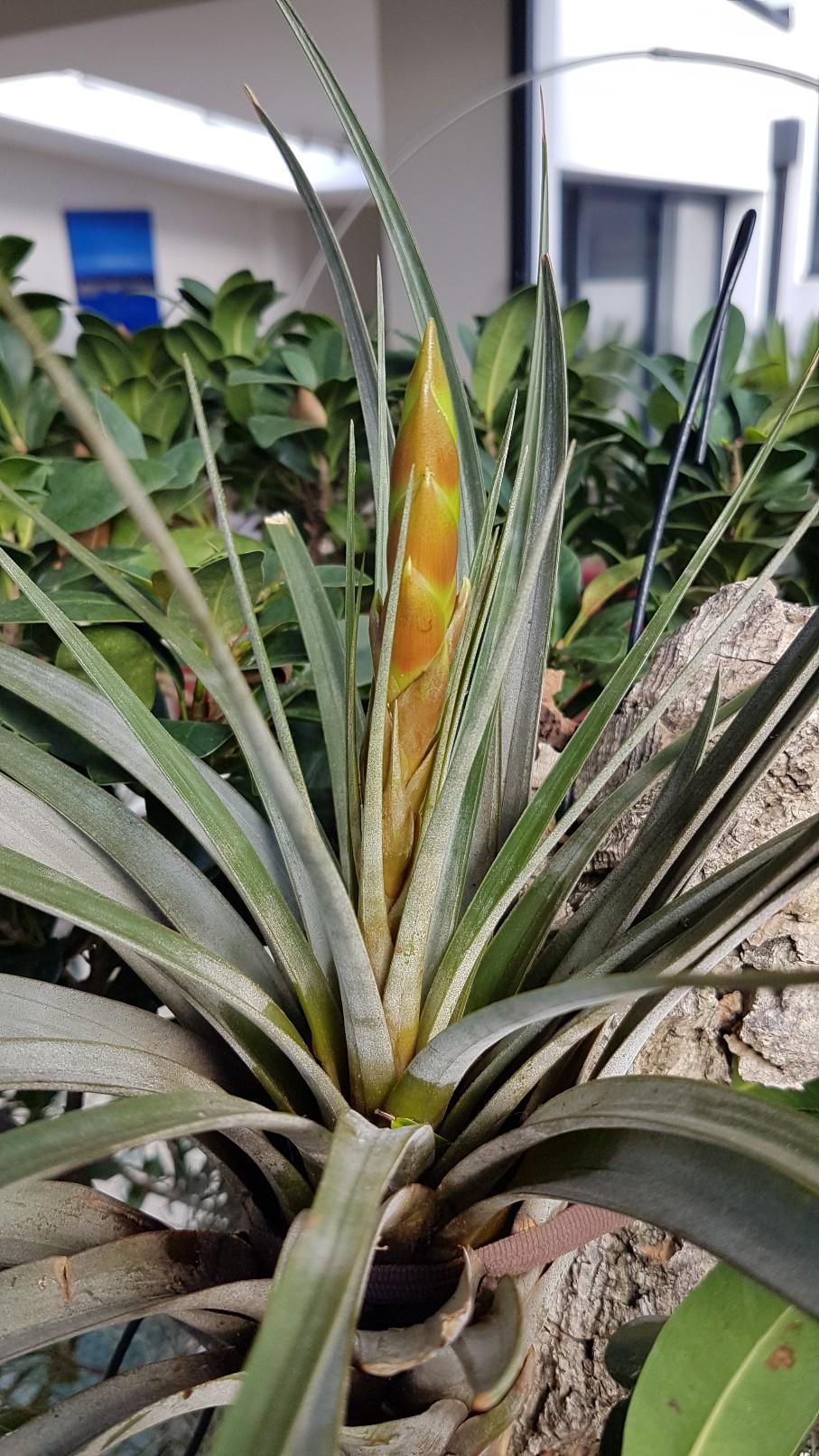 Tillandsia fasciculata 20190229