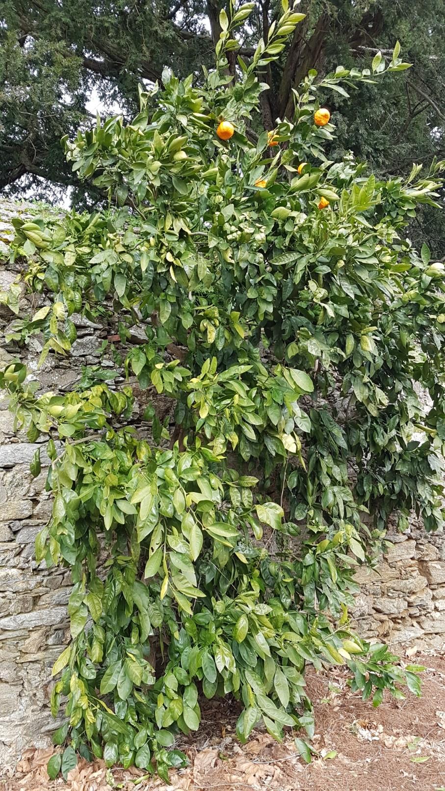 Citrus reticulata subsp. unshiu - mandarinier satsuma 20190236