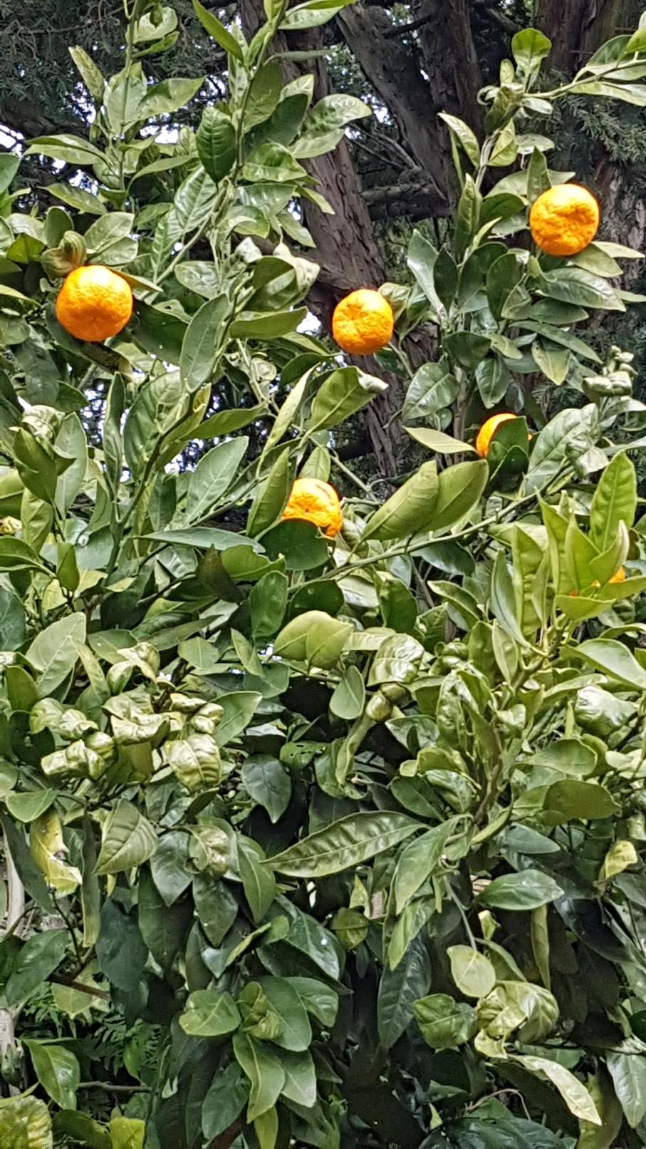 Citrus reticulata subsp. unshiu - mandarinier satsuma 20190237