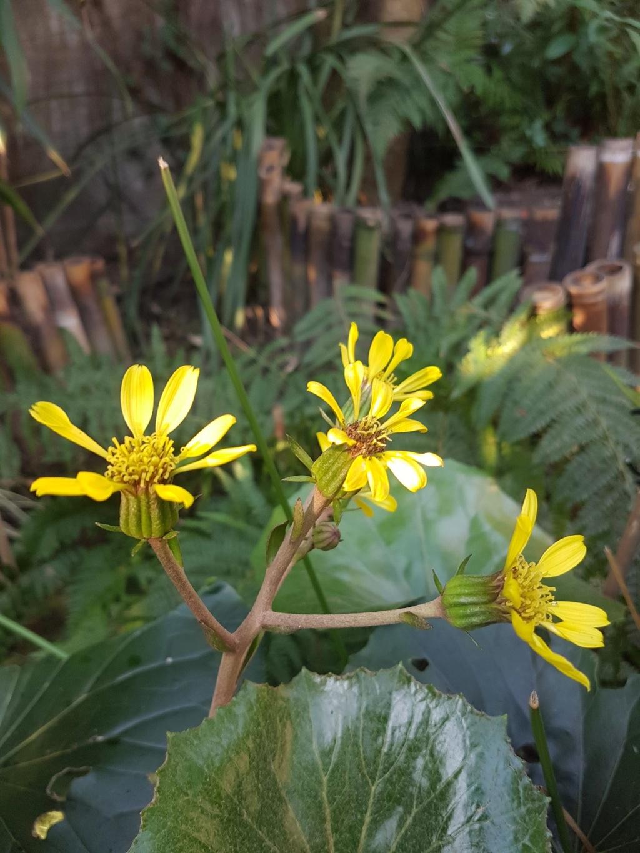 Farfugium japonicum = Ligularia kaempferi - Page 4 20190294