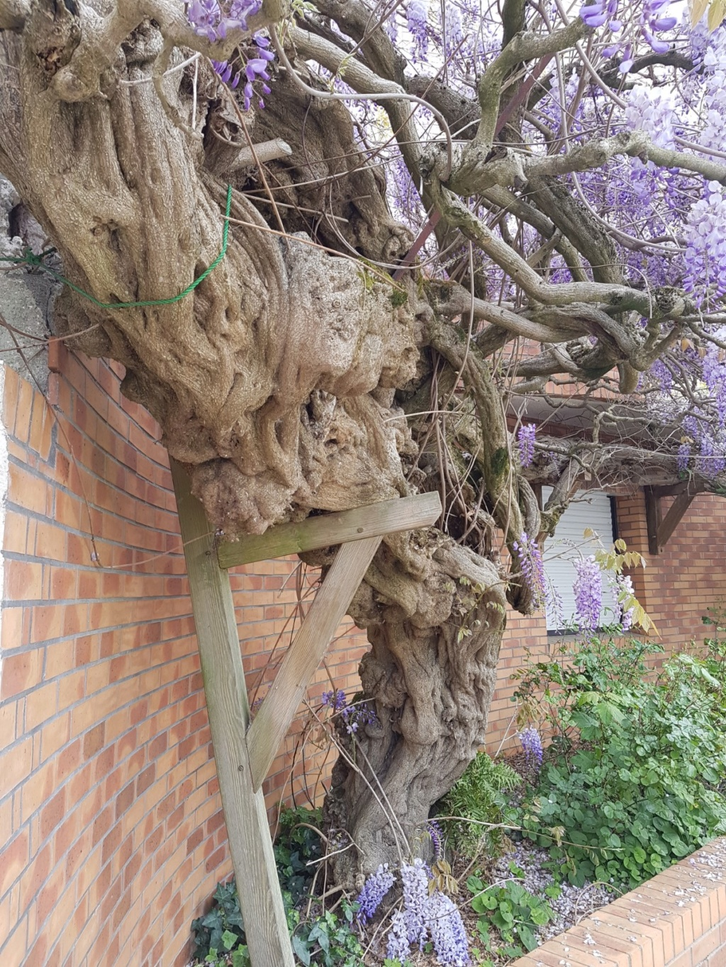 Wisteria - les glycines  - Page 7 20190301