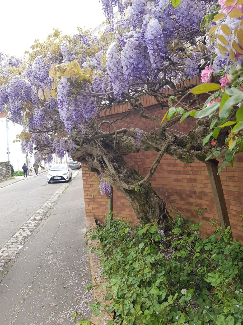 Wisteria - les glycines  - Page 7 20190302