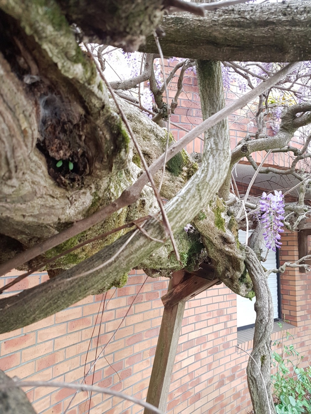 Wisteria - les glycines  - Page 7 20190303