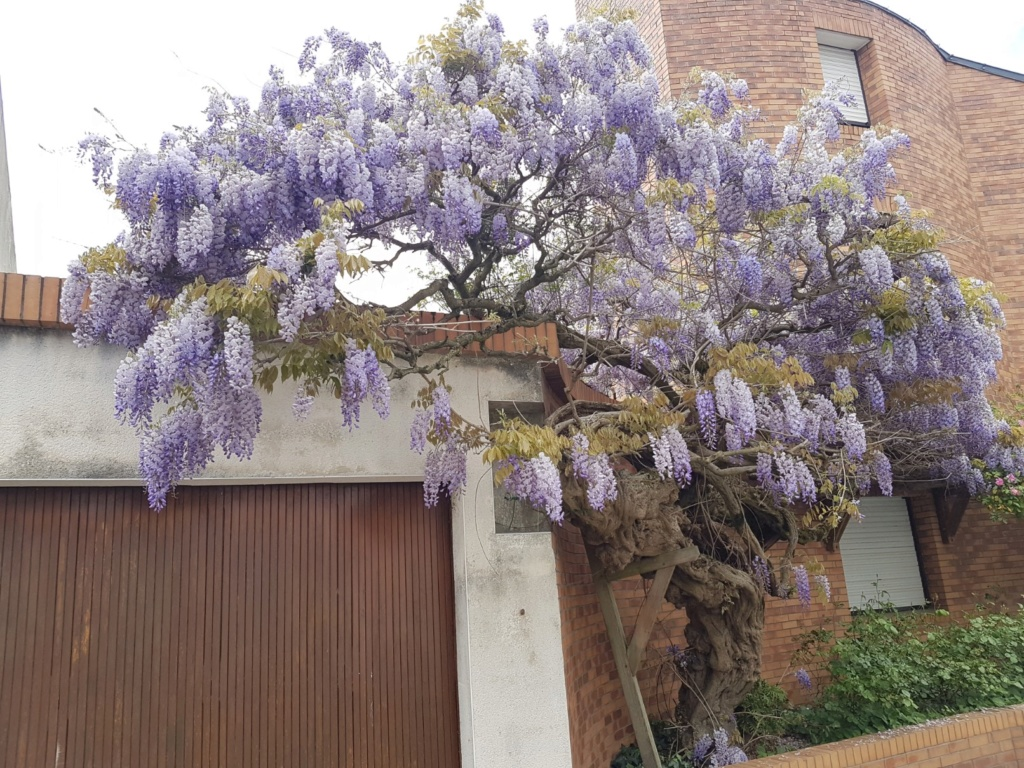 Wisteria - les glycines  - Page 7 20190304