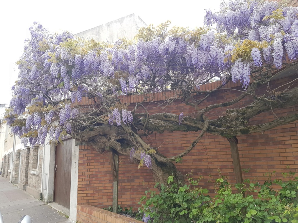Wisteria - les glycines  - Page 7 20190305