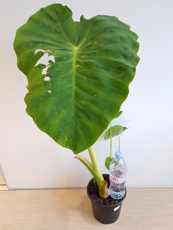 Colocasia esculenta 'Jack's Giant' 20190327