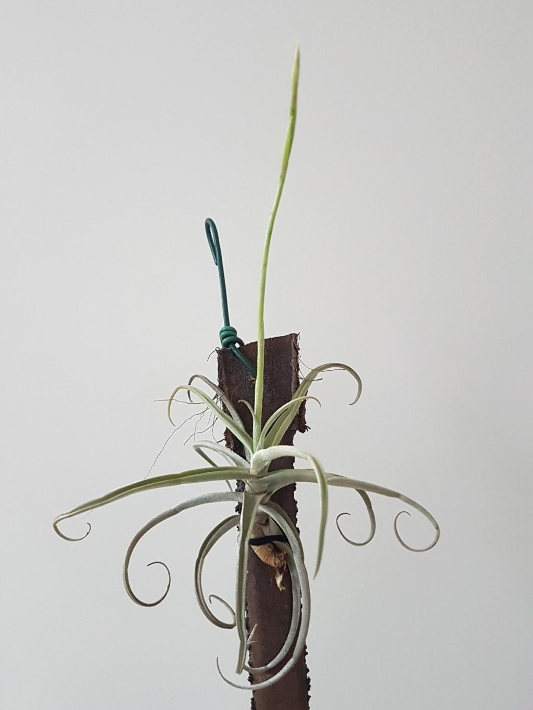 Tillandsia reichenbachii 20190360