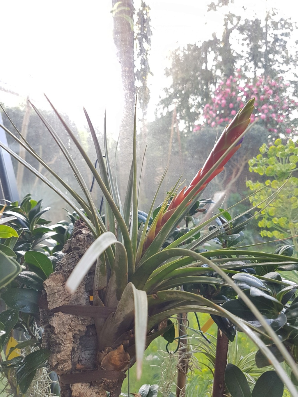 Tillandsia fasciculata 20190380