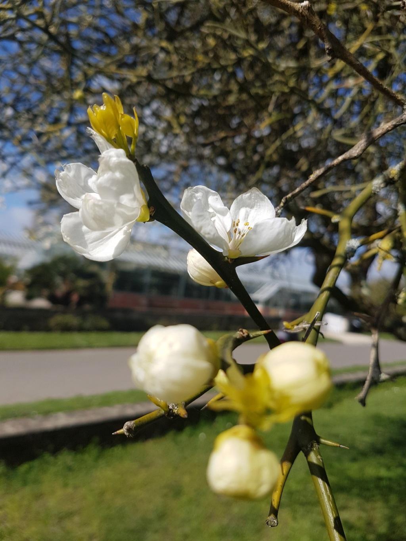 Citrus trifoliata (= Poncirus trifoliata) - Page 2 20190393