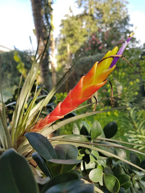 Tillandsia fasciculata 20190439