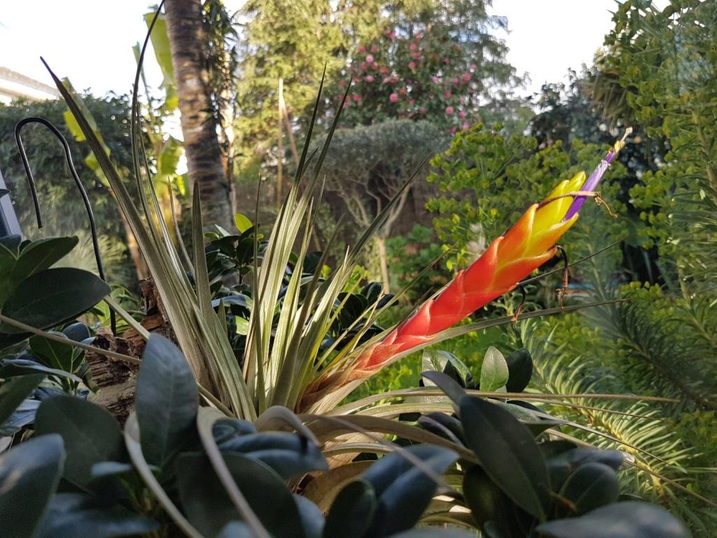 Tillandsia fasciculata 20190440