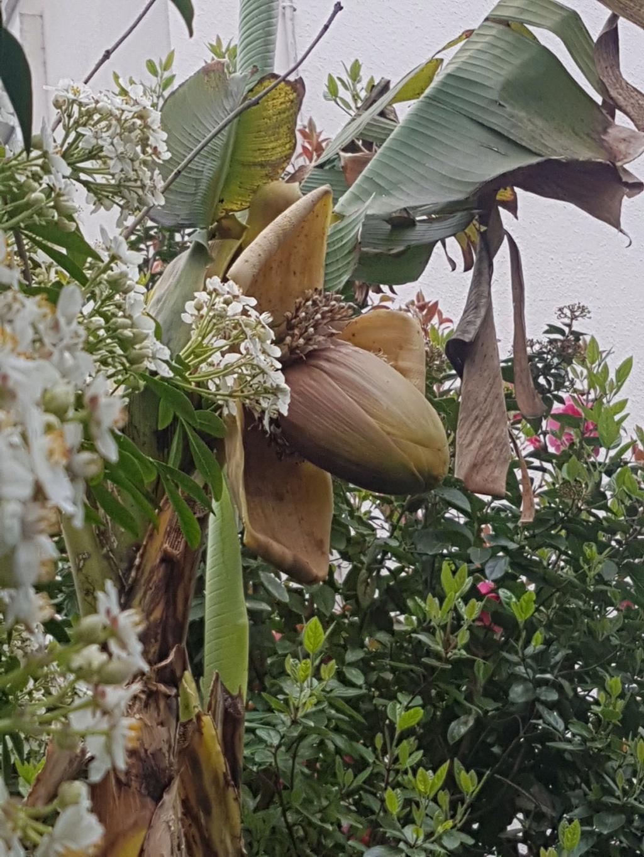 Musa basjoo - bananier du Japon - Page 2 20190454
