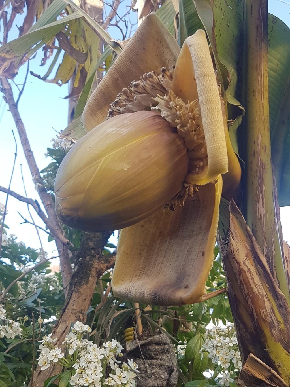 Musa basjoo - bananier du Japon - Page 2 20190456