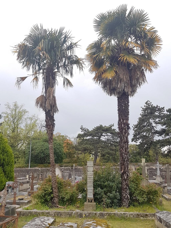 Trachycarpus fortunei - Page 10 20190477