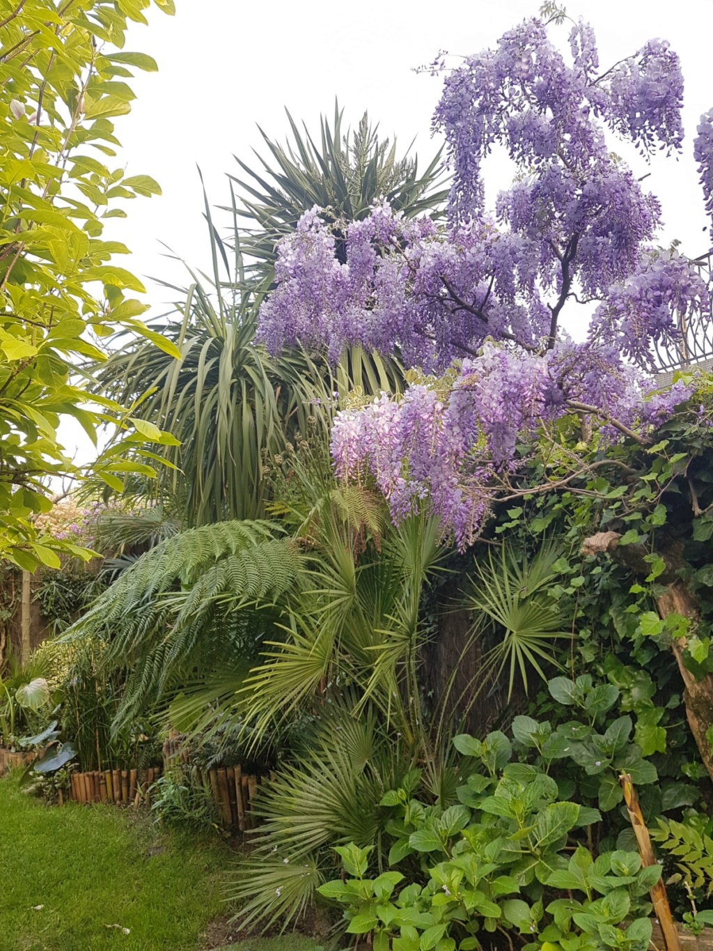 Wisteria - les glycines  - Page 7 20190487
