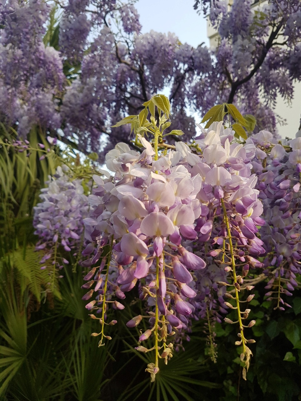 Wisteria - les glycines  - Page 7 20190488