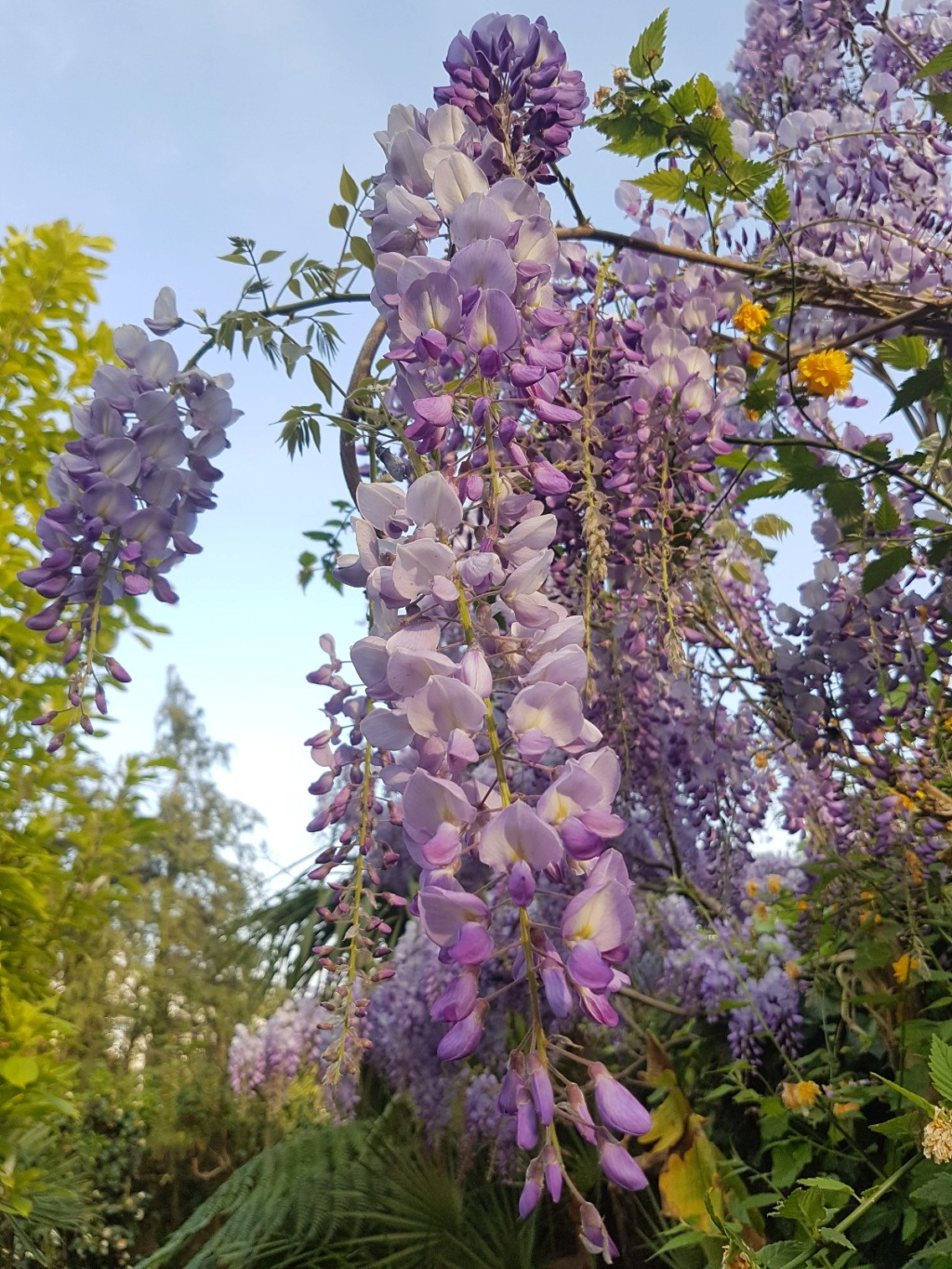 Wisteria - les glycines  - Page 7 20190489