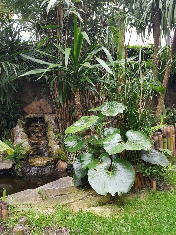 Farfugium japonicum = Ligularia kaempferi - Page 4 20190496