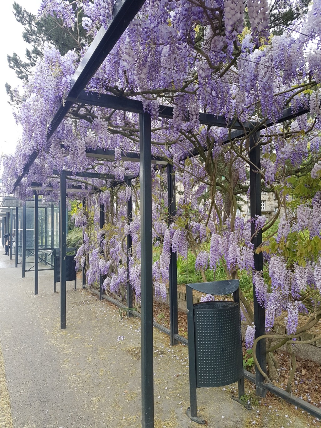 Wisteria - les glycines  - Page 8 20190530