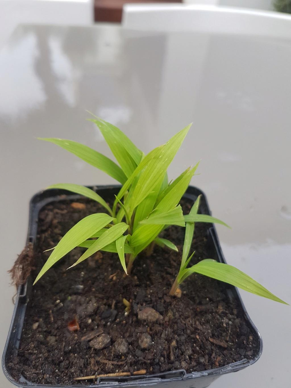 Setaria palmifolia - sétaire à feuilles de palmier - Page 2 20190537