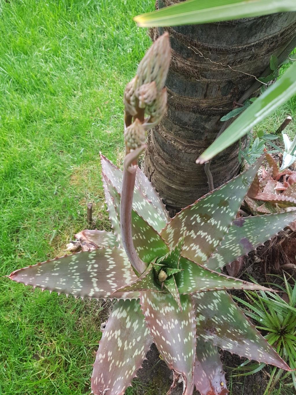 Aloe grandidentata - Page 3 20190539