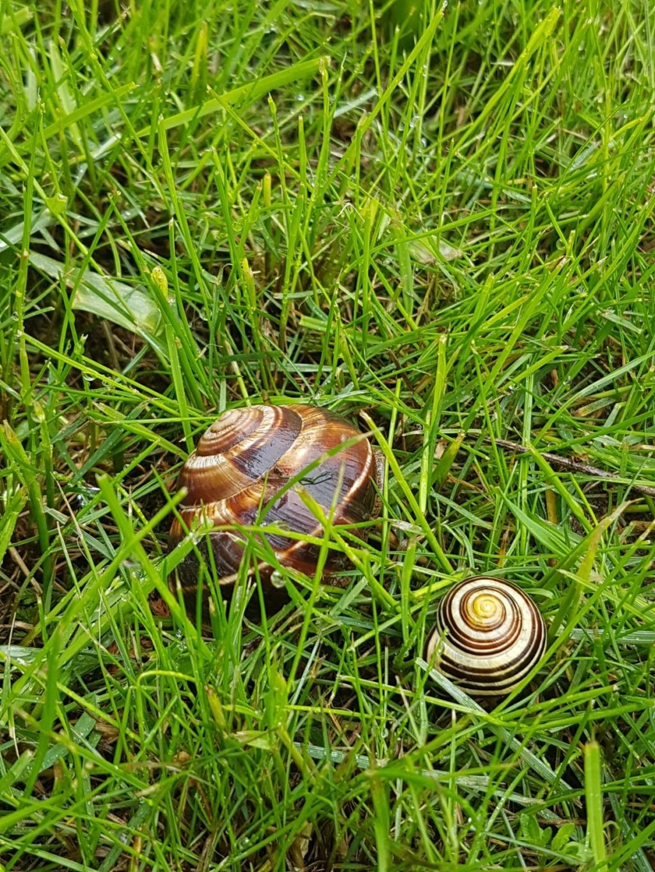 Connaissez vous cet escargot? - identification  20190564