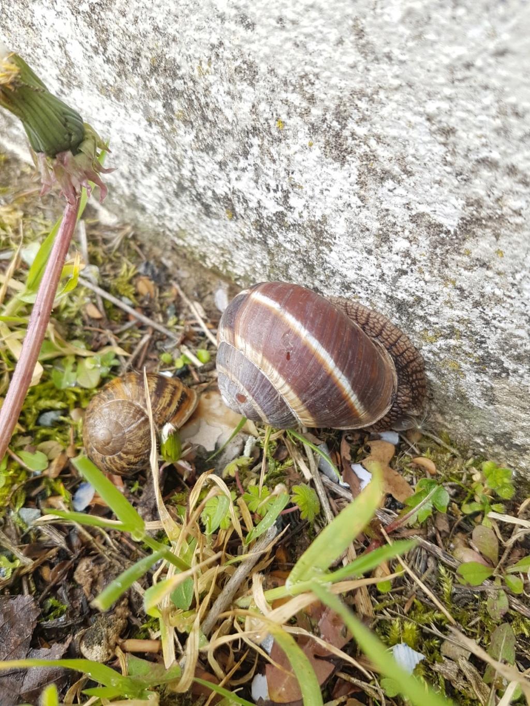 Connaissez vous cet escargot? - identification  20190567