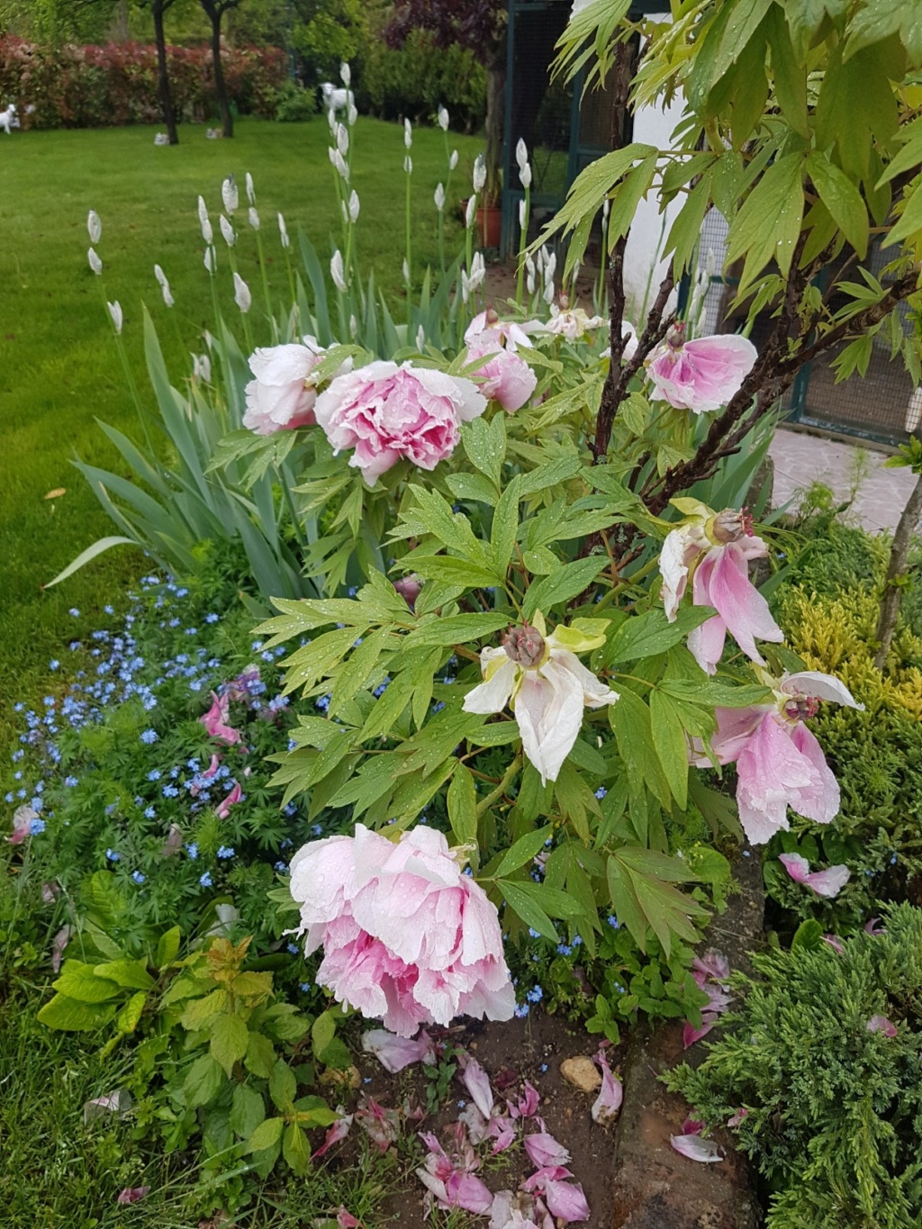 Paeonia - pivoines arbustives - Page 7 20190577