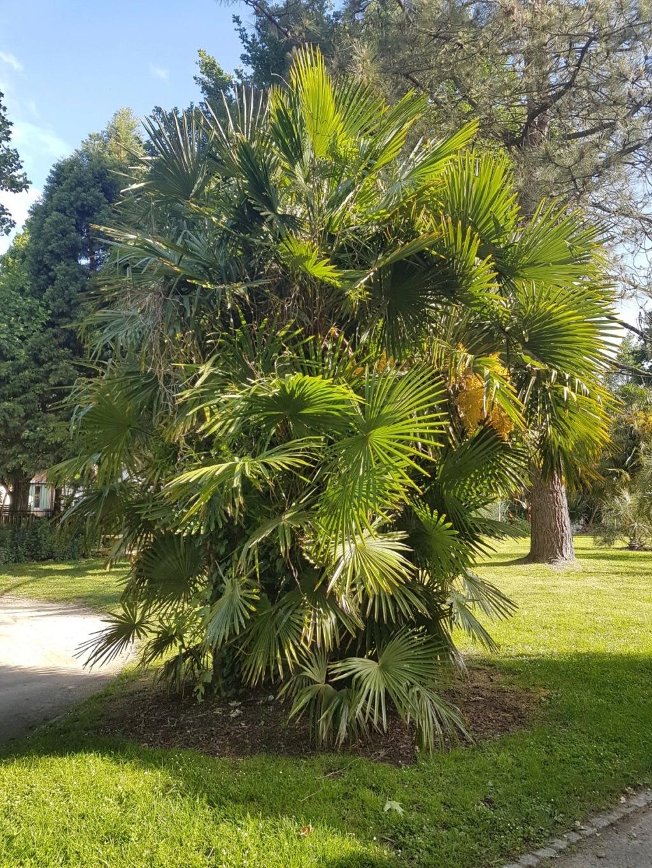 Trachycarpus fortunei - Page 10 20190631