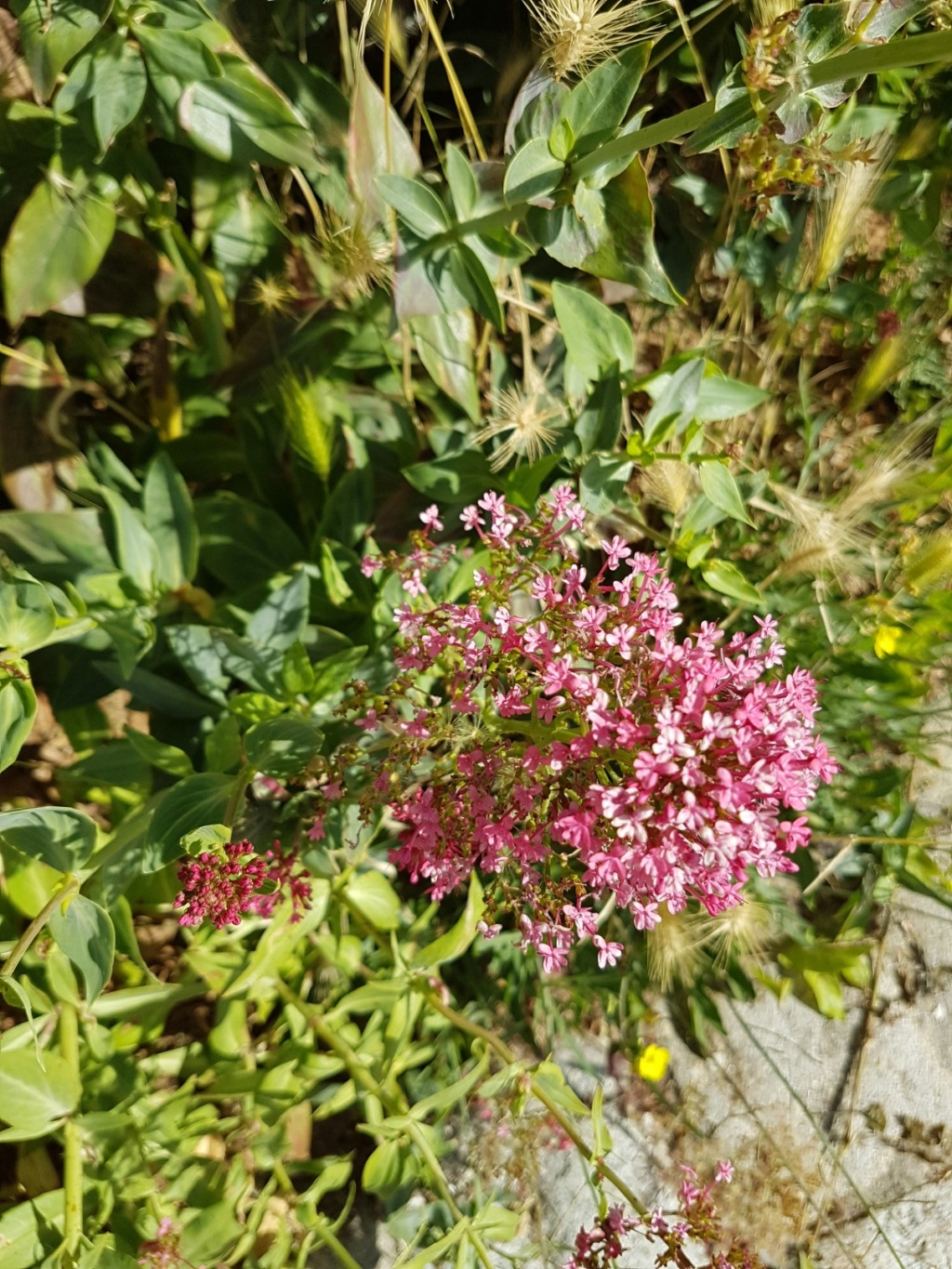 Centranthus ruber - valériane / centranthe rouge 20190640