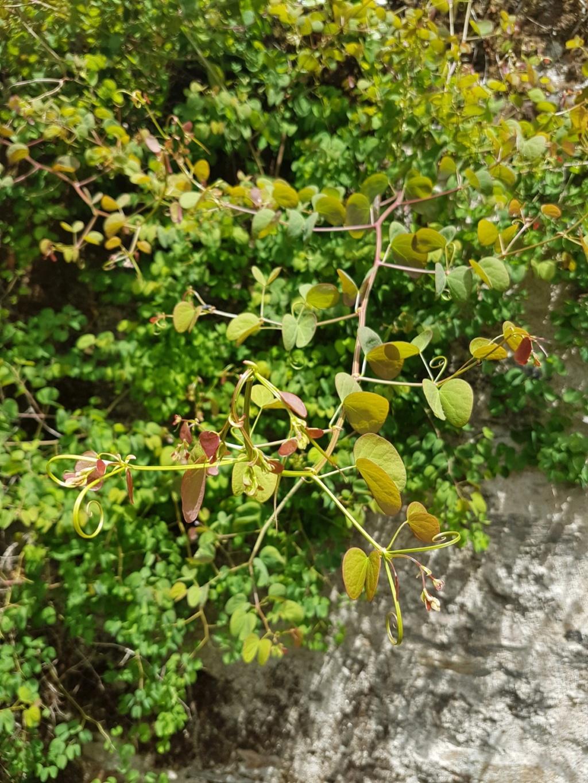 Bauhinia yunnanensis - Page 5 20190692