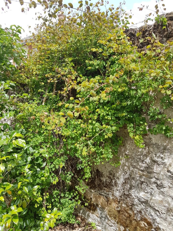 Bauhinia yunnanensis - Page 5 20190693