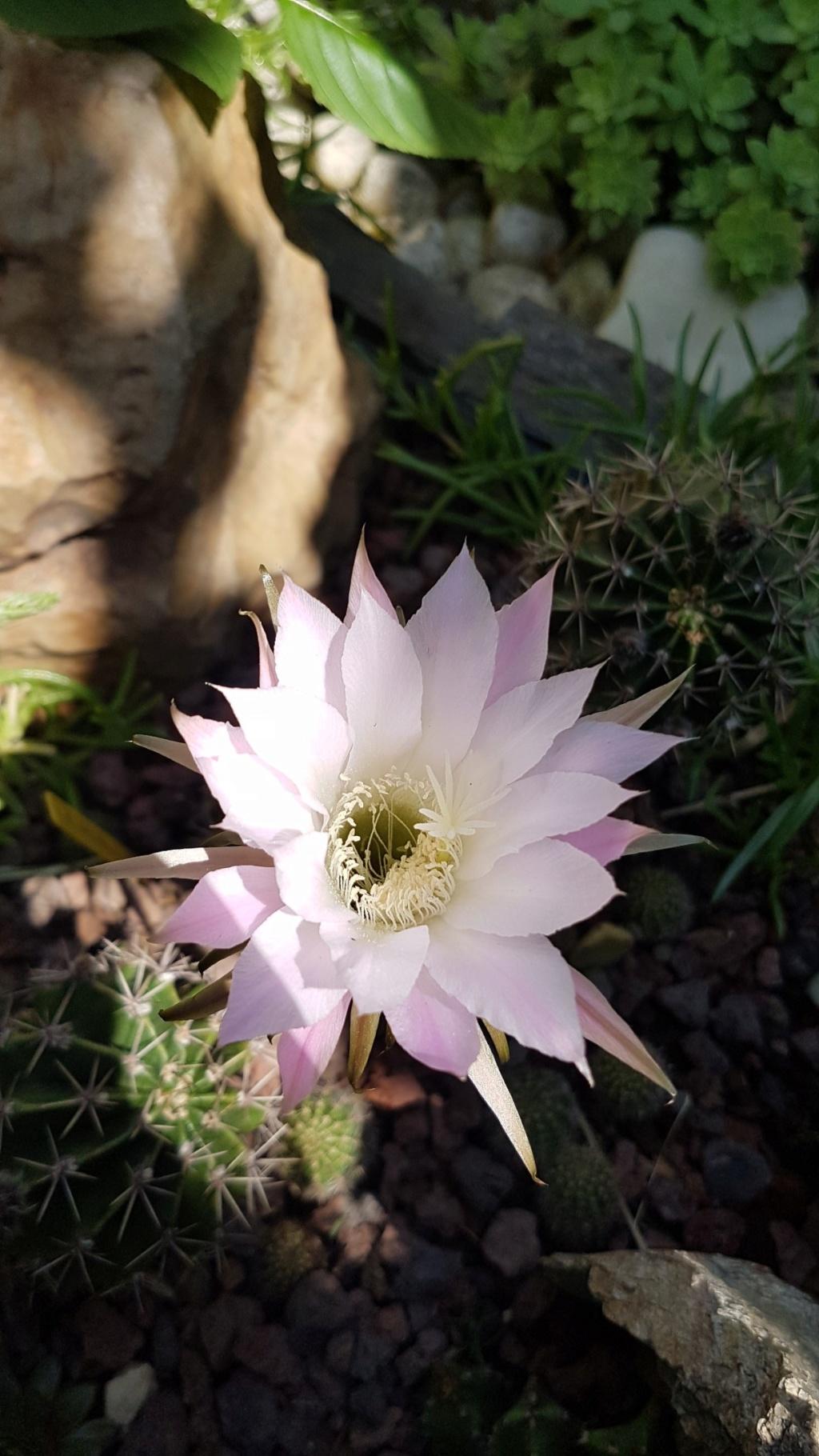 Cactus - floraisons 2019 - Page 2 20190735