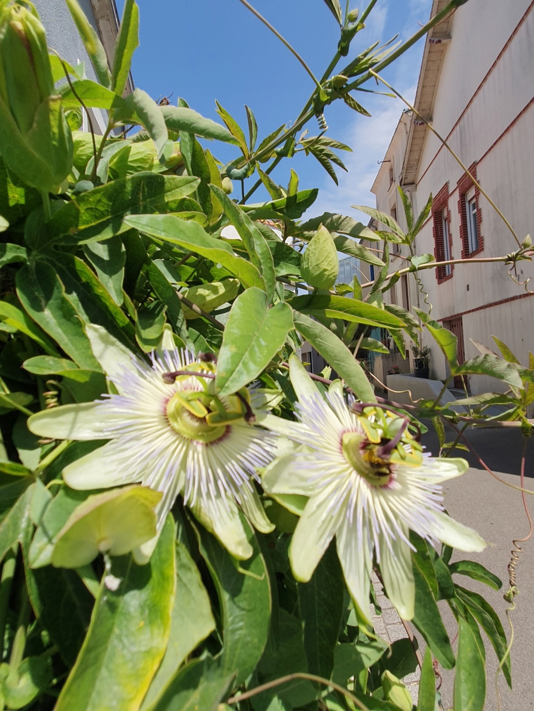 Passiflora caerulea - Page 4 20190770