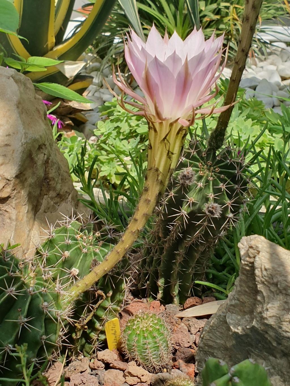 Echinopsis oxygona (= Echinopsis eyriesii v. grandiflora) - Page 3 20190786