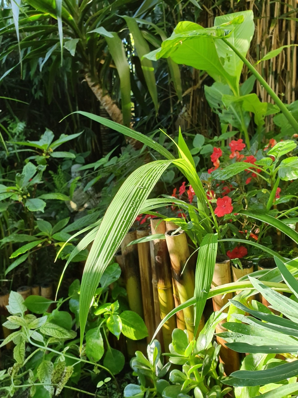 Setaria palmifolia - sétaire à feuilles de palmier - Page 2 20190808