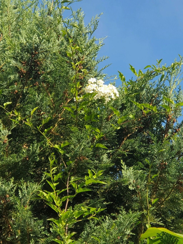 Solanum jasminoides - faux-jasmin - Page 3 20190840