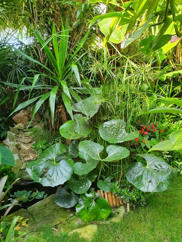 Rémi - Mon (tout) petit jardin en mode tropical - Page 14 20190847