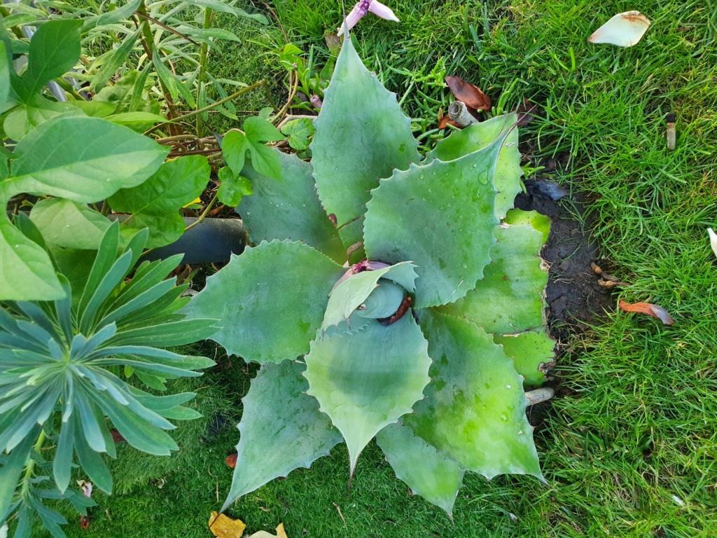 Agave ovatifolia - Page 2 20190850