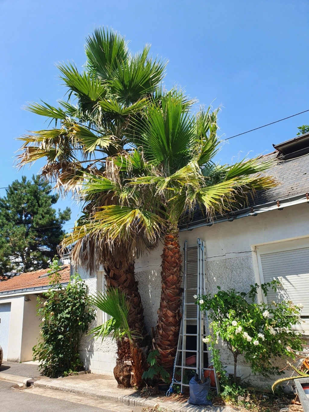 Washingtonia robusta - Page 4 20190868