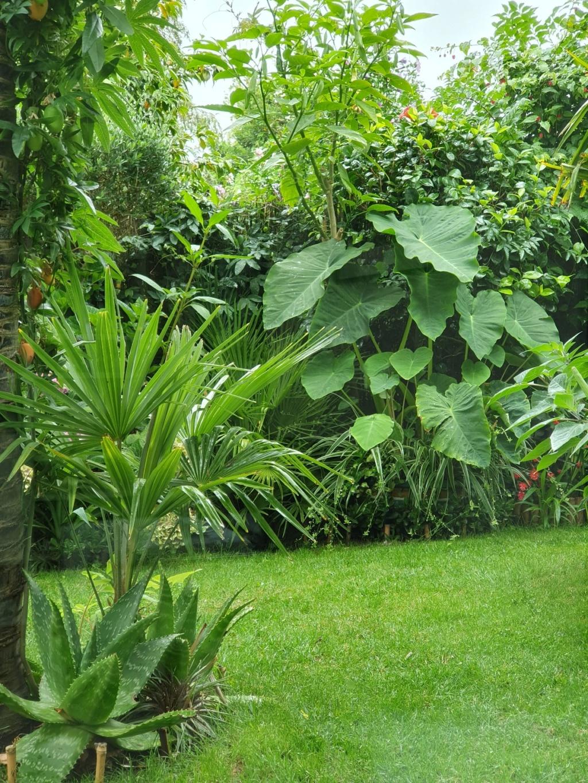 Rémi - Mon (tout) petit jardin en mode tropical - Page 14 20190877